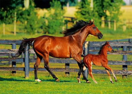 Jigsaw Puzzle - Foal's First Steps (37095)