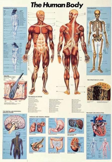 bloedvaten lichaam
