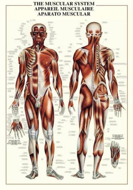 Jigsaw Puzzle - The Muscular System (#2804N00003) - 1000 Pieces Ricordi