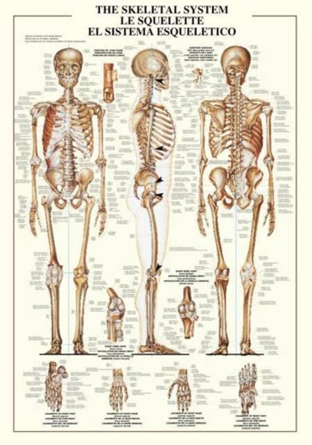 Jigsaw Puzzle - The Skeletal System (#2804N00001) - 1000 Pieces Ricordi